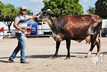 No quarto dia de evento aconteceu a 5ª e 6ª  Ordenha do Concurso Leiteiro, a continuação do julgamento dos animais, o Shopping do bovino leiteiro (raças gir e girolando) com vendas facilitadas e durante todo o dia esteve presente o BNB
